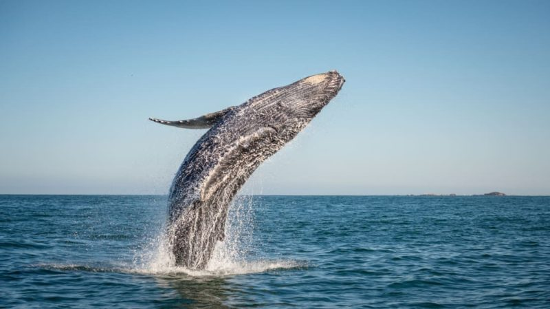 35-ton humpback whale spotted flying completely out of the water near the Mbotyi coast, South Africa