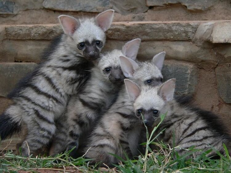 A wolf species that you have never heard of before: meet aardwolf, the adorable little wolf