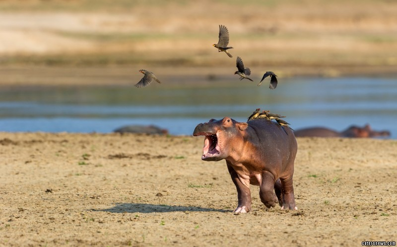 Baby hippo cries out for help after a playful and hungry bird flock seats on its back