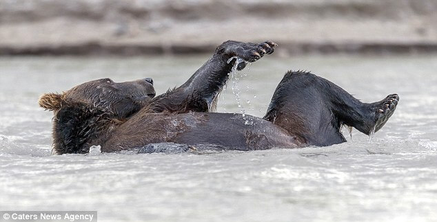 Clumsy brown bear enjoys a bath in a lake while his hungry friends hunt salmon
