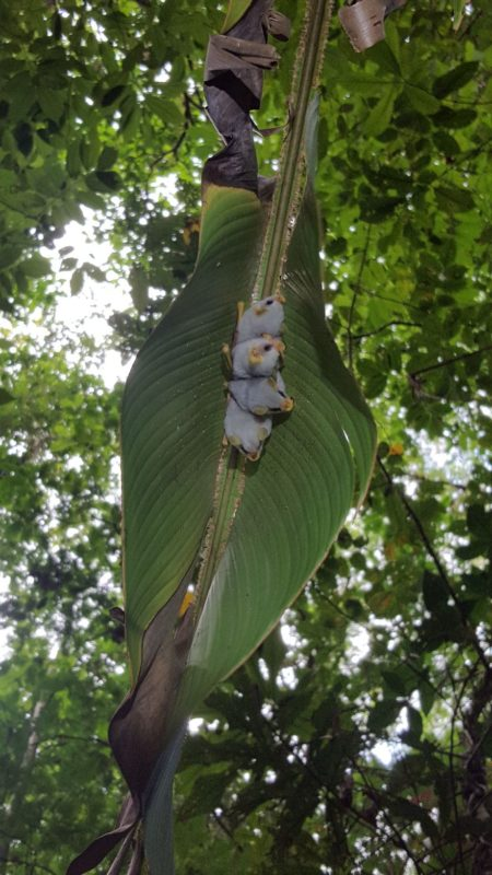 Endangered white bats are captured on camera in a Costa Rica rainforest by chance