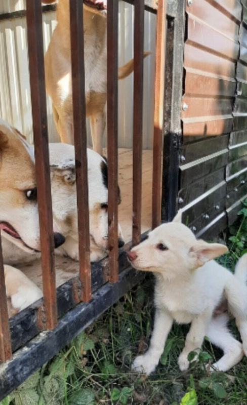 Mama dog with a note on her collar and two snow-white puppies was tied to a bush