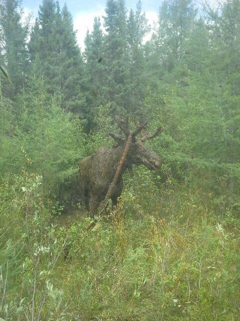 Moose almost buried in a deep mud hole in Ontario gets rescued by 70-year-old men