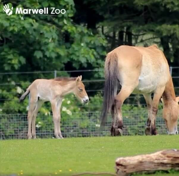 Super rare Przewalski's horse foal is born in the Marwell zoo: the crew is excited about the expected birth