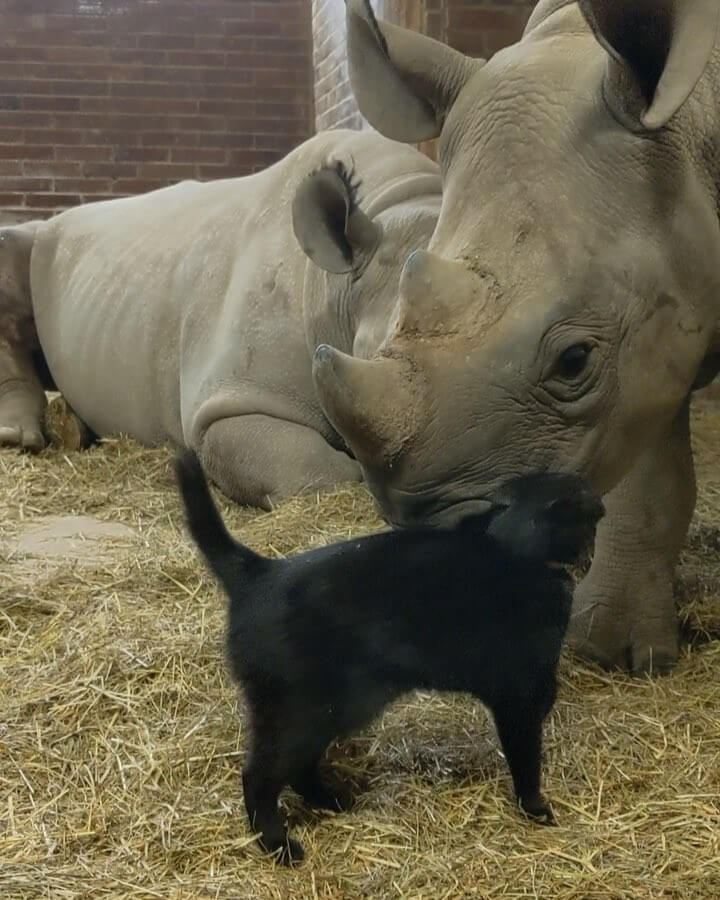 The special bond between the rhino and cat goes viral after being footaged and put on social media